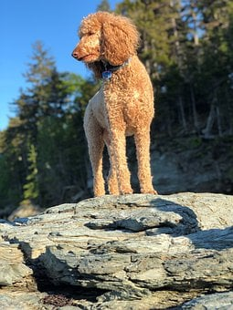 Poodle, Dog, Pet, Animal, Cute, Pose, Adorable, Nature