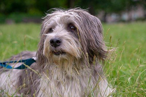 Dog, Hybrid, Pet, Animal, Snout, Head, Portrait