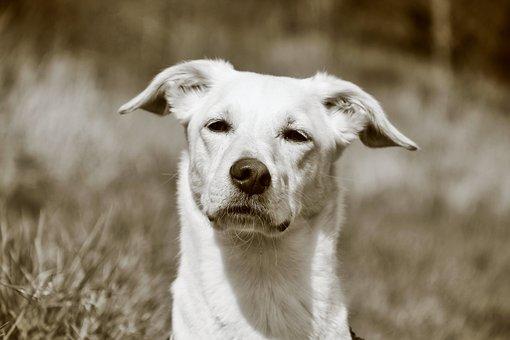 Dog Head, Dog, Monochrome, Snout, Animal, Dog Look