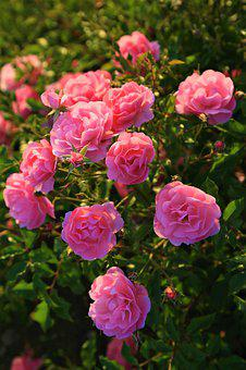 Roses, Spring, Nature, Beautiful, Flower, Pink