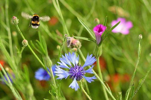 Summer, Flower Meadow, Hummel, Nature, Meadow, Garden
