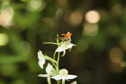 Ladybug, Plathantère, Orchid, Garden, White, Flower
