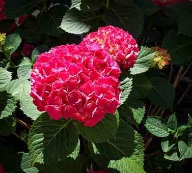 Flowers, Hydrangeas, Summer, Bush, Pink, Purple, Sunny