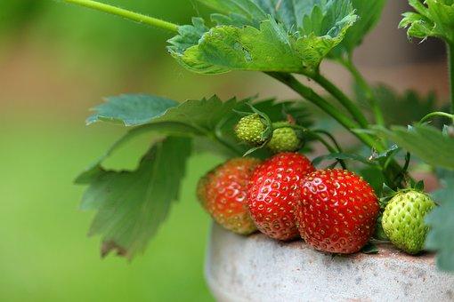 Strawberries, Garden, Fruit, Summer, Food, Delicious