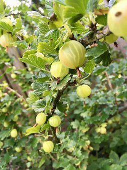 Bio, Gooseberry, Bush, Fruit, Soft Fruit, Garden