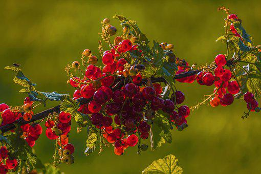 Currants, Red, Fruit, Fruits, Ripe, Garden, Summer