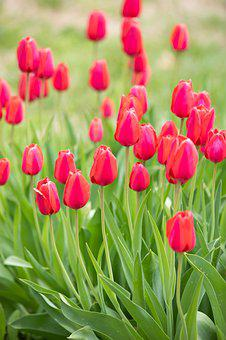 Holy Week, May Flowers, Happy Passover, Tulips, Flower