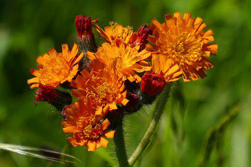 Orange Havikskruid, Muizenoor, Hieracium Aurantiacum