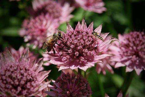 Masterwort, Insect, Bee, Honey Bee, Hoverfly, Pink