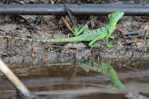 Lizard, Animal, Reptile