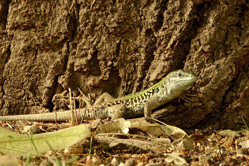 Lizard, Nature, Reptile, Green, Animal, Creature