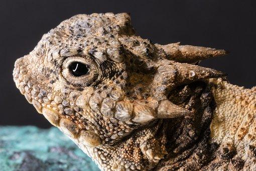 Horned Toad, Horned Lizard, Lizard, Reptile, Wildlife