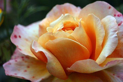 Rose, Beauty, Blossom, Bloom, Romantic, Romance, Love