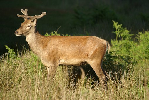 English Red Deer, Stag, Forest, Marshes, Wildlife