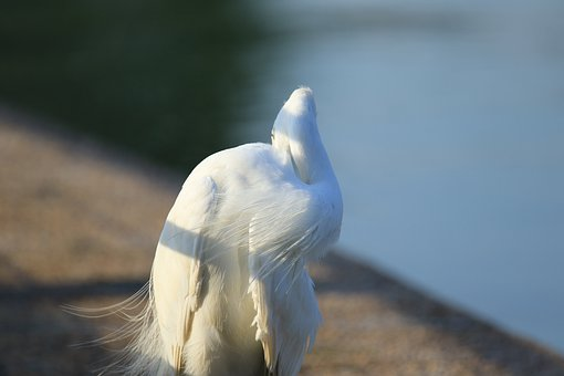 Bird, Little Egret, Water, Feathers, Nature, Beauty
