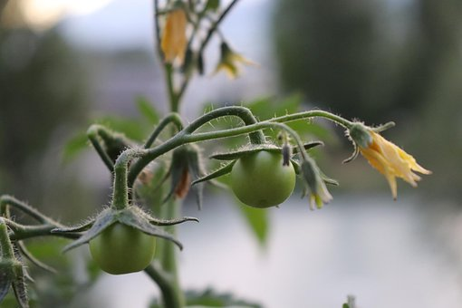Nature, Plant, Tomato, Yellow Flower, Natural, Garden