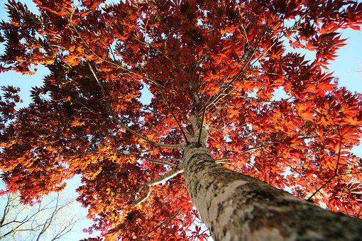 Autumn, Red, Tree, Nature, Leaves, Forest, Leaf, Color