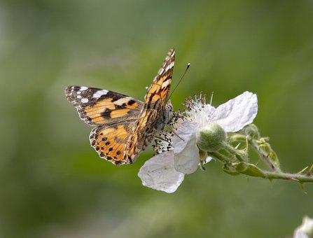 Painted Lady, Butterfly, Wings, Summer, Nature, Insect
