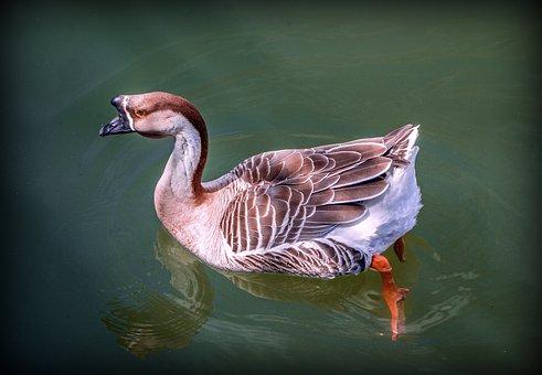 Goose African, Animal, Water Bird, River, Ovíparo