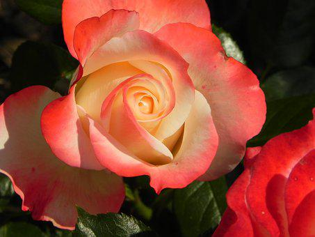 Rose, Blossom, Bloom, Rose Bloom, Pink, White, Love