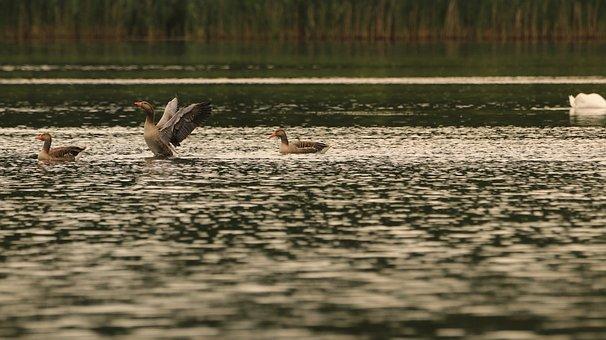 Goose, Lake, Water, Wild Goose, Plumage, Animal World