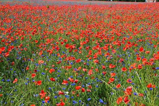 Poppies, Poppy Field, Field Of Poppies, Poppy