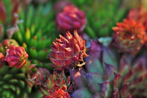 Succulents, Plant, Nature, Vegetable
