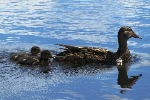 Ducks And Chickens, Young Ducks, Mother Duck, Swimming