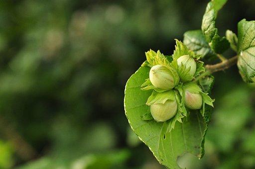 Hazelnuts, Macro, Plant, Tree, Nature, Forest, Leaf