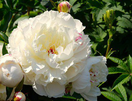 Peony, White, Pentecost, Flower, Blossom, Bloom, Nature