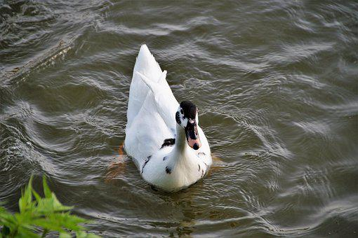 Duck, Muscovy, Wild, Term, White, Black Head, Pond