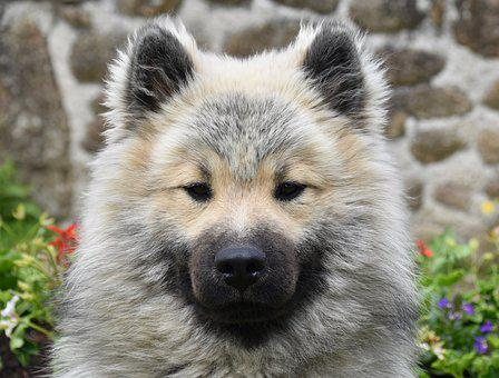 Dog, Pup, Dog Eurasier, Eurasier Olaf-blue, Cute, Young