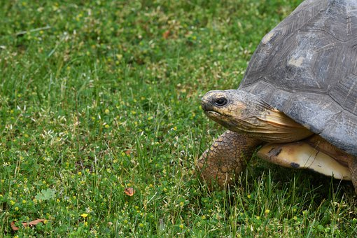 Tortoise, Turtle, Reptile, Zoo, Slowly, Green