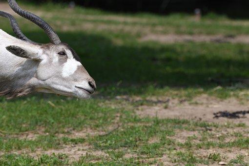 Addax, Horns, Antelope, Zoo