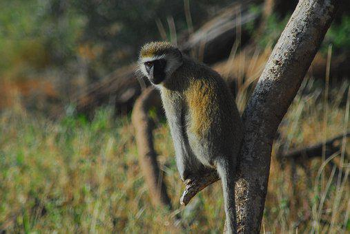 Vervet Monkey, Africa, Samburu National Park, Monkey
