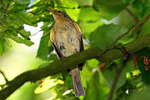 Song Bird, Animal, Bird, Wildlife, Beak, Feather