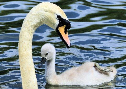 Swan, Cygnet, Animal, Water, Bird, Plumage, Nature