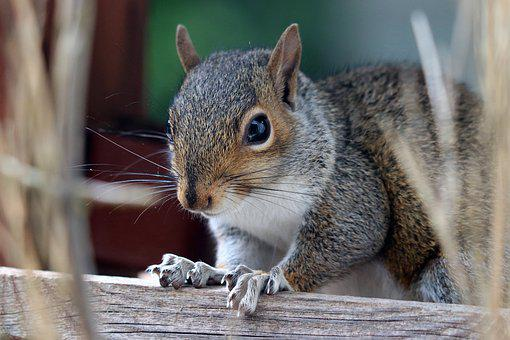 Squirrel, Grey Squirrel, Grey, Rodent, Cute, Animal