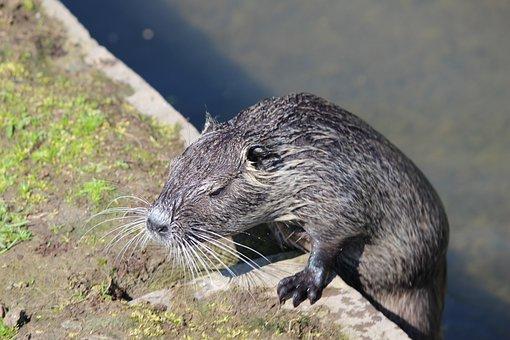 Nutria, Beaver, Rat, Aquatic Animal, Fauna, Rodent