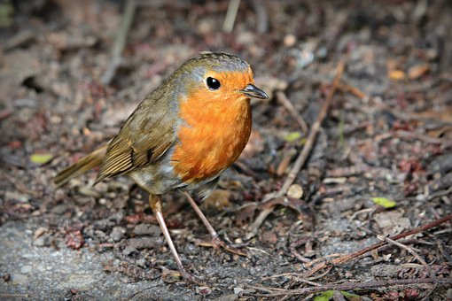 Robin, Song Bird, Animal, Feather, Plumage, Beak, Eye