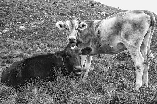 Livestock, Cows Beef, Cows, Mammals, Landscape, Beef