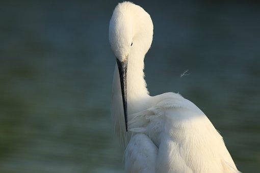 Bird, Little Egret, White, Bill, Elegance