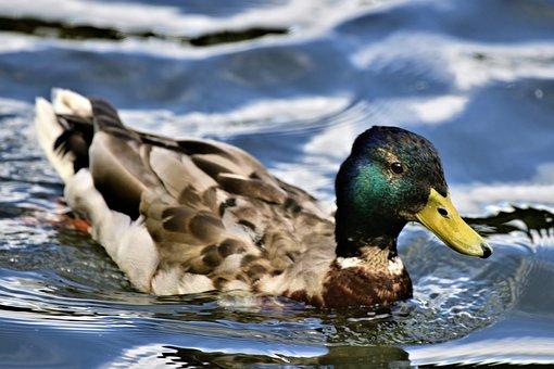 Duck, Mallard, Pond, Plumage, Nature, Bird, Swim