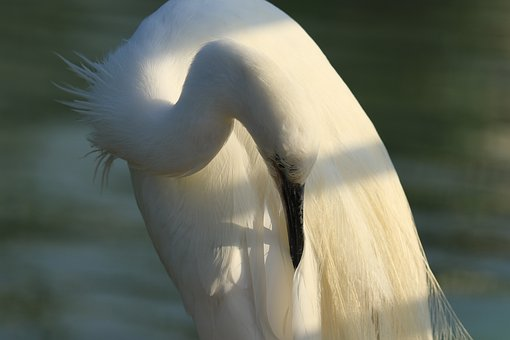 Bird, Little Egret, White, Cleaning, Feathers, Beauty