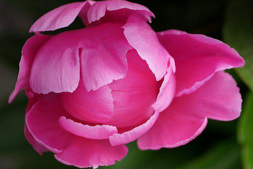 Peony, Petals, Pink, Flower, Nature, Garden, Bloom
