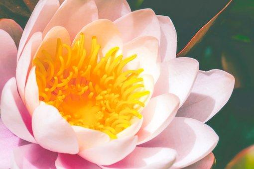 Water Lily, Blossom, Bloom, Aquatic Plant, Nuphar Lutea