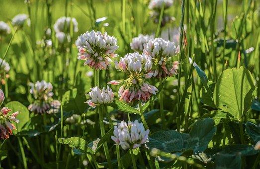 Klee, Blossom, Bloom, White, Red Clover, Grass