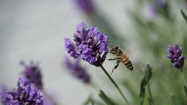 Bee, Insect, Lavender, Nectar, Pollen, Purple, Blossom
