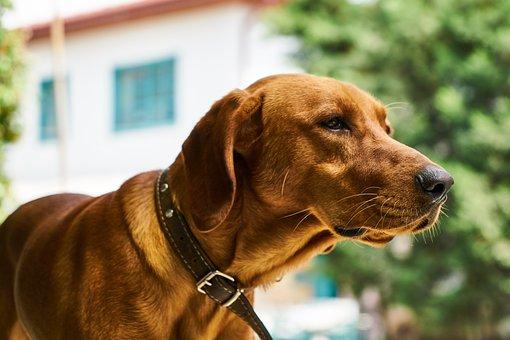Dog, Hunt, Animal, Portrait, Brown, Fur Leather, Nose