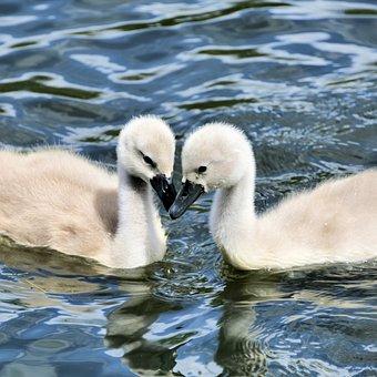 Cygnets, Swan, Animal, Water, Bird, Plumage, Lake
